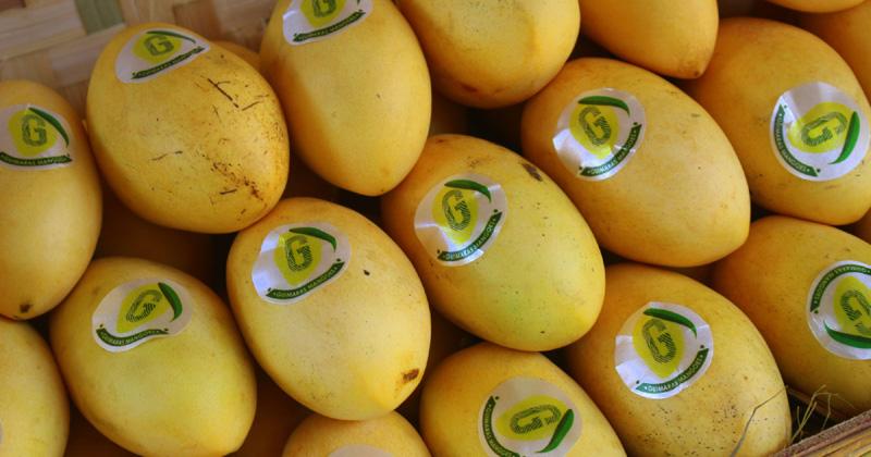 Guimaras mango growers get ₱1.8-million aid