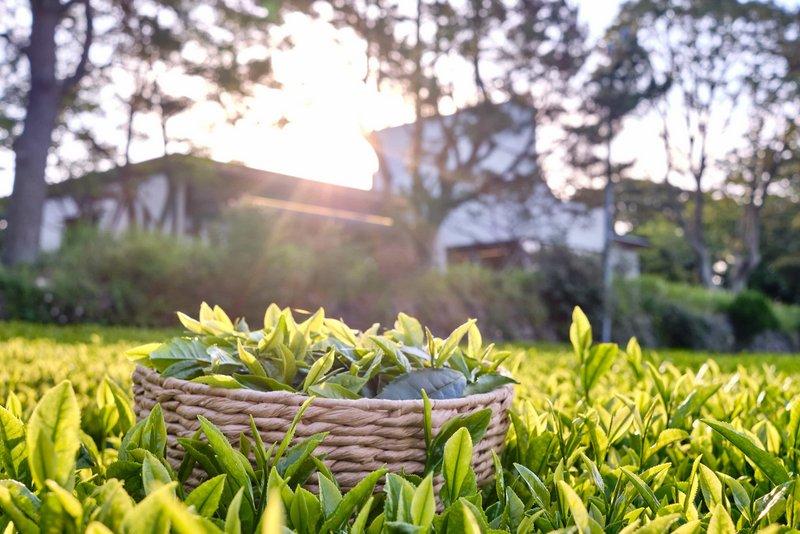 Dolsongyi tea farm_Tea picking